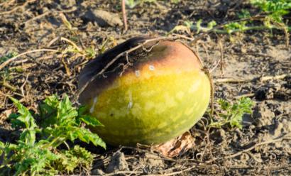 Что делать, если арбузы гниют на грядке?