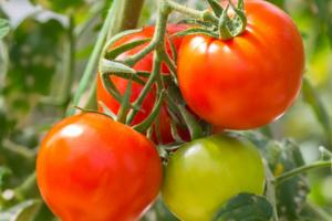 опадают завязи помидоров