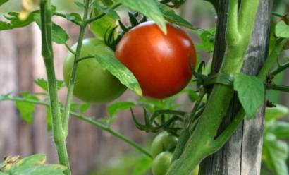 Опадают завязи томатов — чем подкормить?