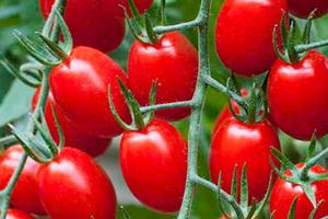 опали завязи томатов