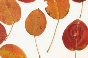 у груши краснеют листочки