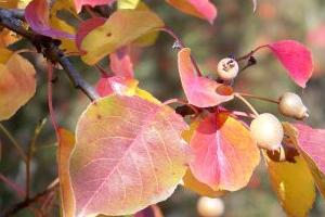 у груши краснеют листья летом
