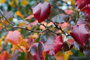 у груши краснеют листья осенью