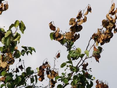 у груши желтеют листья и сохнут ветки