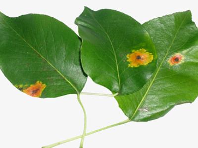 у груши желтеют листья летом