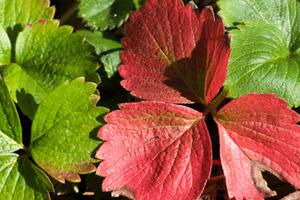 у клубники краснеют листья и сохнут