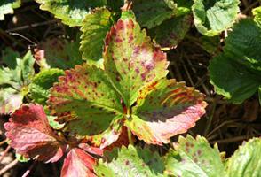 у клубники краснеют листья по краям