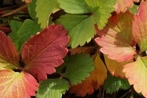 у клубники краснеют нижние листья