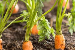 у моркови сохнет ботва все время