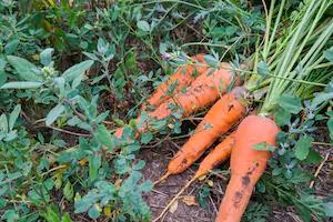 у моркови засыхает ботва