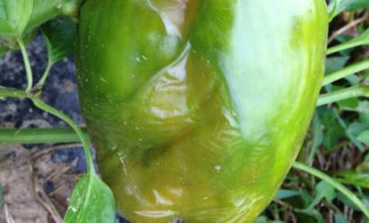 Из-за чего у перцев могут гнить плоды?