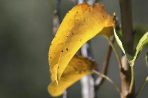 у сливы желтеют листья и опадают
