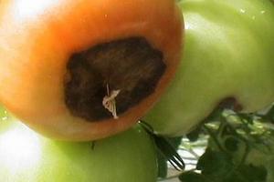 вершинная гниль на красных томатах